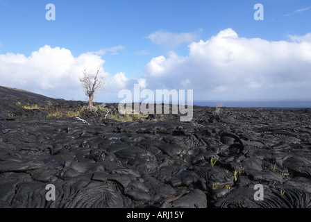 Lone dead tree remaining in middle of lava flow - Stock Photo