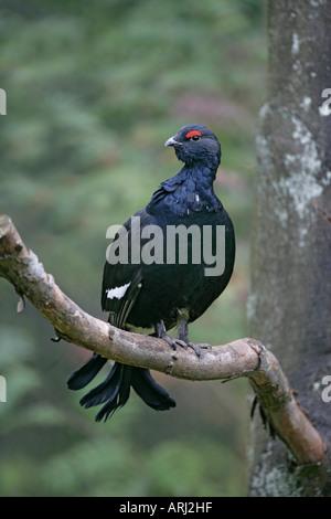 BLACK GROUSE Tetrao tetrix Male Germany - Stock Photo