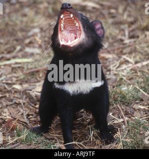tasmanian devil (Sarcophilus harrisii), tasmanian devil, juvenile, Australia, Tasmania - Stock Photo