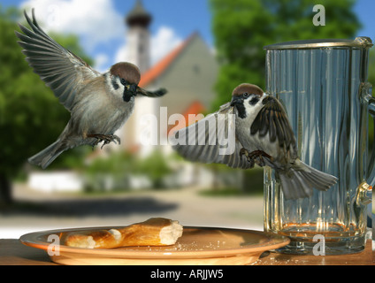 two house sparrows - at plate - flying - Stock Photo