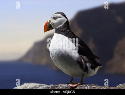 Atlantic puffin - standing on rock Fratercula arctica - Stock Photo