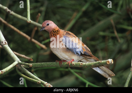 Laughing Dove (Spilopelia senegalensis, Streptopelia senegalensis). Adult perched on a twig - Stock Photo