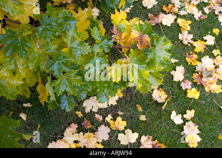 Wet colorful maple leaves in tree and fallen to ground at Fall - Stock Photo