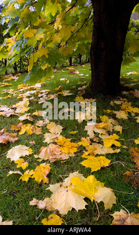 Wet yellow maple leaves fallen to the ground at Fall - Stock Photo