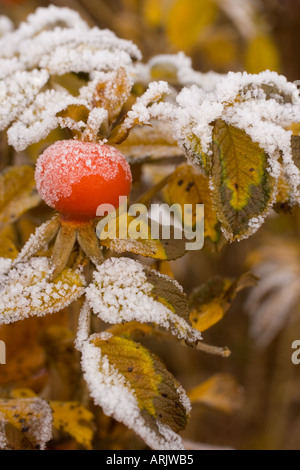 Close-up of a rose berry covered with frost - Stock Photo