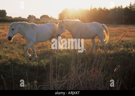 Camargue horses, La petite Camargue, in the region of Aigues-Mortes, Gard, Languedoc-Roussillon, France, Europe - Stock Photo
