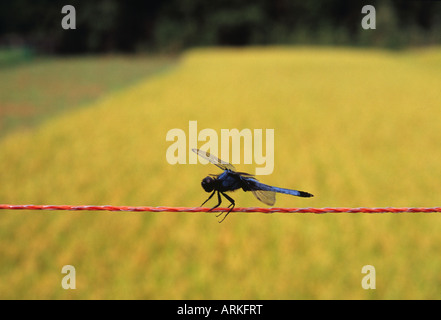 Dragonfly in the rice field, Japan - Stock Photo