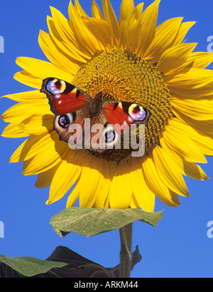European Peacock Butterfly (Inachis io, Nymphalis io). Butterfly feeding on sunflower. - Stock Photo