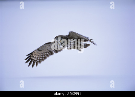 Great grey owl (Strix nebulosa) in flight, Finland, Scandinavia, Europe - Stock Photo