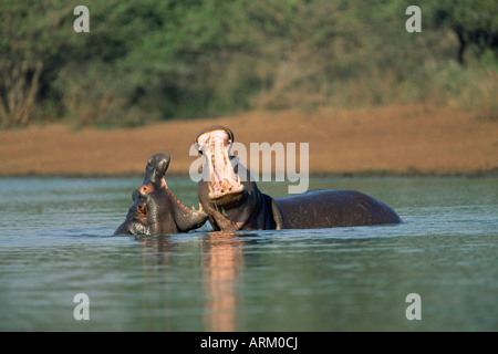 Common hippos, Hippopotamus amphibius, two young males sparring, Kruger National Park, South Africa, Africa - Stock Photo