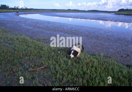 Collie dog waiting for a stick to be thrown into muddy river - Stock Photo