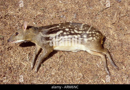 JRR101134 Wild Animal Mouse Deer Dead Body Nivatii Malvan Maharashtra India - Stock Photo