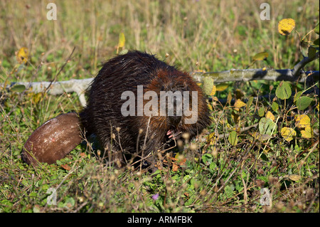 Captive beaver (Castor canadensis), Minnesota Wildlife Connection, Sandstone, Minnesota, United States of America, - Stock Photo