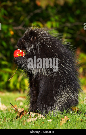 Capitive porcupine (Erethizon dorsatum) sitting on hind feet eating an apple, Sandstone, Minnesota, USA, North America - Stock Photo