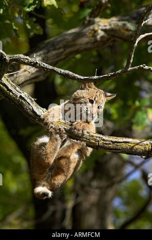 Young bobcat (Lynx rufus) hanging onto a branch, Minnesota Wildlife Connection, Sandstone, Minnesota, USA, North - Stock Photo