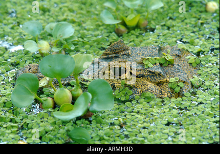 spectacled caiman (Caiman crocodilus), portrait, hidden between water plants (Eichhornia, Salvinia) - Stock Photo