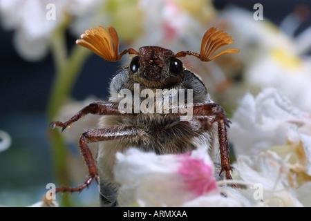 common cockchafer, maybug (Melolontha melolontha) - Stock Photo