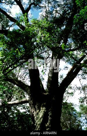 A giant koa tree grows in Bird Park rainforest, a part of Hawaii Volcanoes National Park near Hilo on the Big Island. - Stock Photo