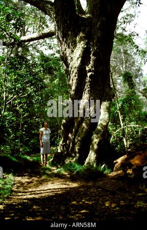 A woman admires a giant koa tree in Bird Park rainforest, a part of Hawaii Volcanoes National Park near Hilo on - Stock Photo
