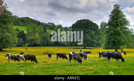 Holstein Friesian cows grazing in buttercup meadow in the Chilterns near High Wycombe Buckinghamshire England UK - Stock Photo