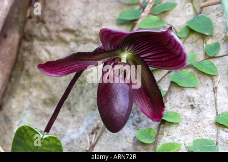 Purple lady slipper - Stock Photo