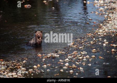 Coastal Grizzly Bear (Ursus horribilus), Knight Inlet, British Columbia, Canada. - Stock Photo