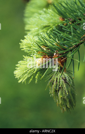Springtime growth of needles and cone on Douglas Fir, British Columbia, Canada. - Stock Photo