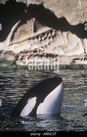 Spy hopping orca (orcinus orca) off Saturna Island, Vancouver Island, British Columbia, Canada. - Stock Photo