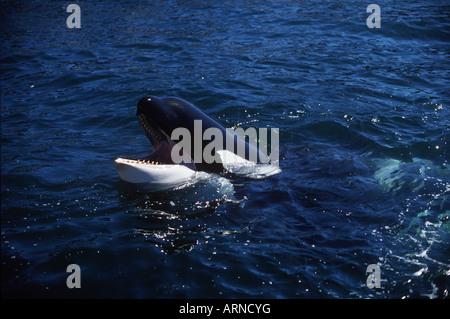 Killer whale (orcinus orca), Vancouver Island, British Columbia, Canada. - Stock Photo