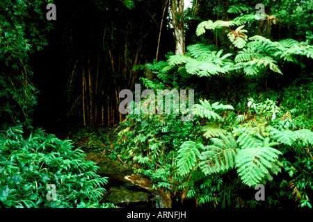 HI Hawaii Volcanoes National Park Big Island Tropical Rain Forest Bird Park rainforest jungle undergrowth lush vegetation - Stock Photo