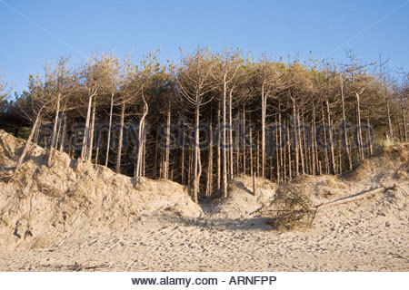 Pine forest on edge of shifting sand dunes, Newborough Warren, Anglesey, Wales - Stock Photo