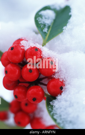 Holly tree berries under snow, British Columbia, Canada.