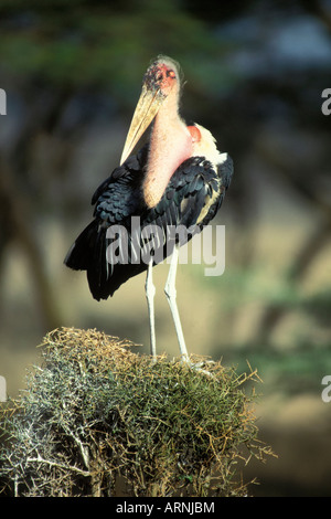 Adult Marabou Stork standing on top of a small Acacia tree. - Stock Photo