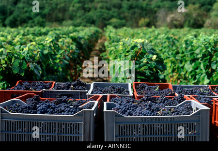 Harvested grapes in bins before rows of vines, Pernand Vergelesses, Cote de Beaune, Burgundy, France - Stock Photo