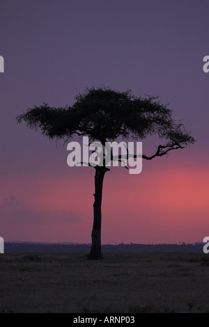 Acacia tree in front of setting sun African sunset - Stock Photo