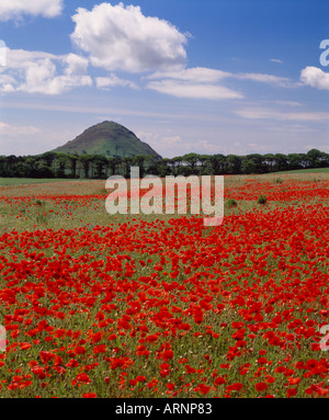 North Berwick Law, East Lothian, Scotland, UK. Field of poppies in set aside area - Stock Photo