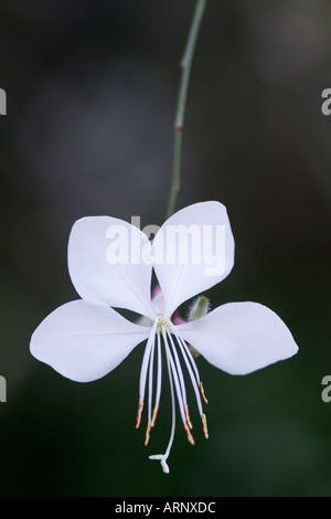 Close up of white Gaura Lindheimeri Flower - Stock Photo