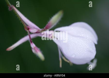 Close up of white Gaura Lindheimeri Flower bud - Stock Photo