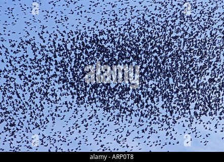 European Starlings Flock - Stock Photo