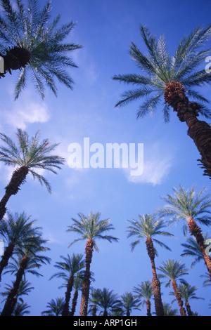 USA, California, Death Valley , desert palm trees - Stock Photo