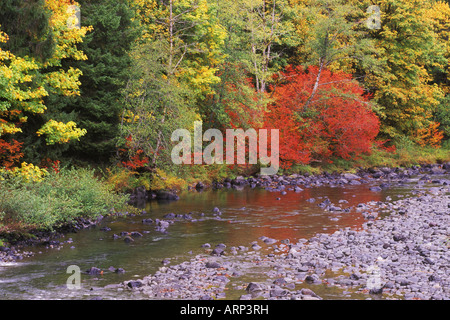 USA, Washington State, Soleduck River in Autumn, vine maple in red - Stock Photo