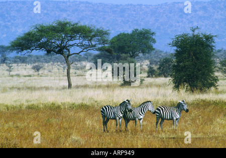Grevy s Zebras in Samburu National Park Kenya East Africa - Stock Photo