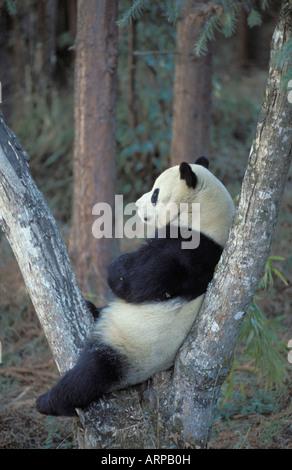 Giant Panda, Panda Centre Wolong Valley Himalaya China - Stock Photo