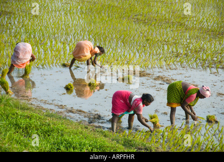 Women planting rice in a paddy field in South India - Stock Photo