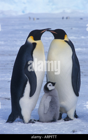 2 Emperor Penguins Kissing With Chick - Stock Photo
