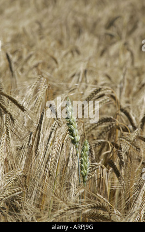 Single wheat plant growing in a field of barley, - Stock Photo