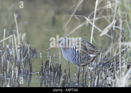 Water Rail (rallus aquaticus) searching for food on winter reedbed Norfolk UK November - Stock Photo