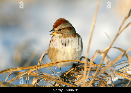 American Tree Sparrow in Ice - Stock Photo