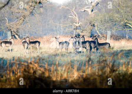 Small group of Fallow deer - Stock Photo
