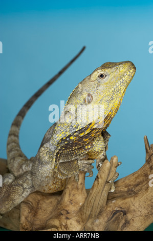 Frilled Dragon, native to northern Australia and southern New Guinea Scientific name Chlamydosaurus kingi, Royalty - Stock Photo